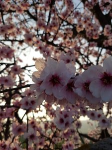 Mandelblüte in der Pfalz (c) Laufschuhkauf.de